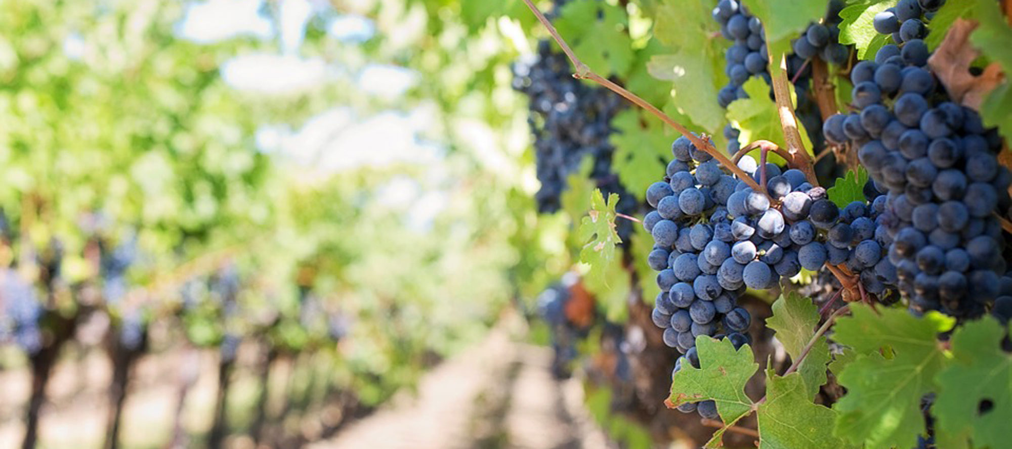 Heroic-Fundraising-Blog-Featured-Image-Grapes-Winery